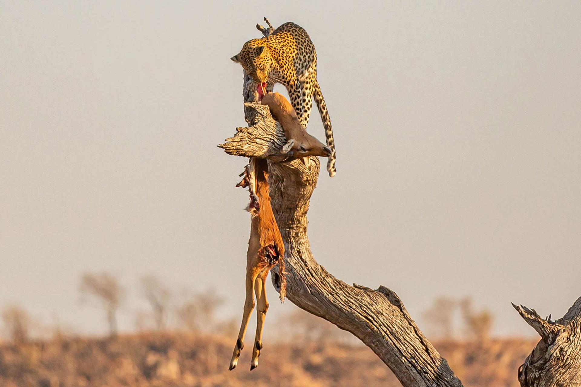 wild-focus-safaris_leopard_prey-02_botswana