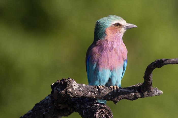 wild-focus-safaris_lilac-roller_botswana_S