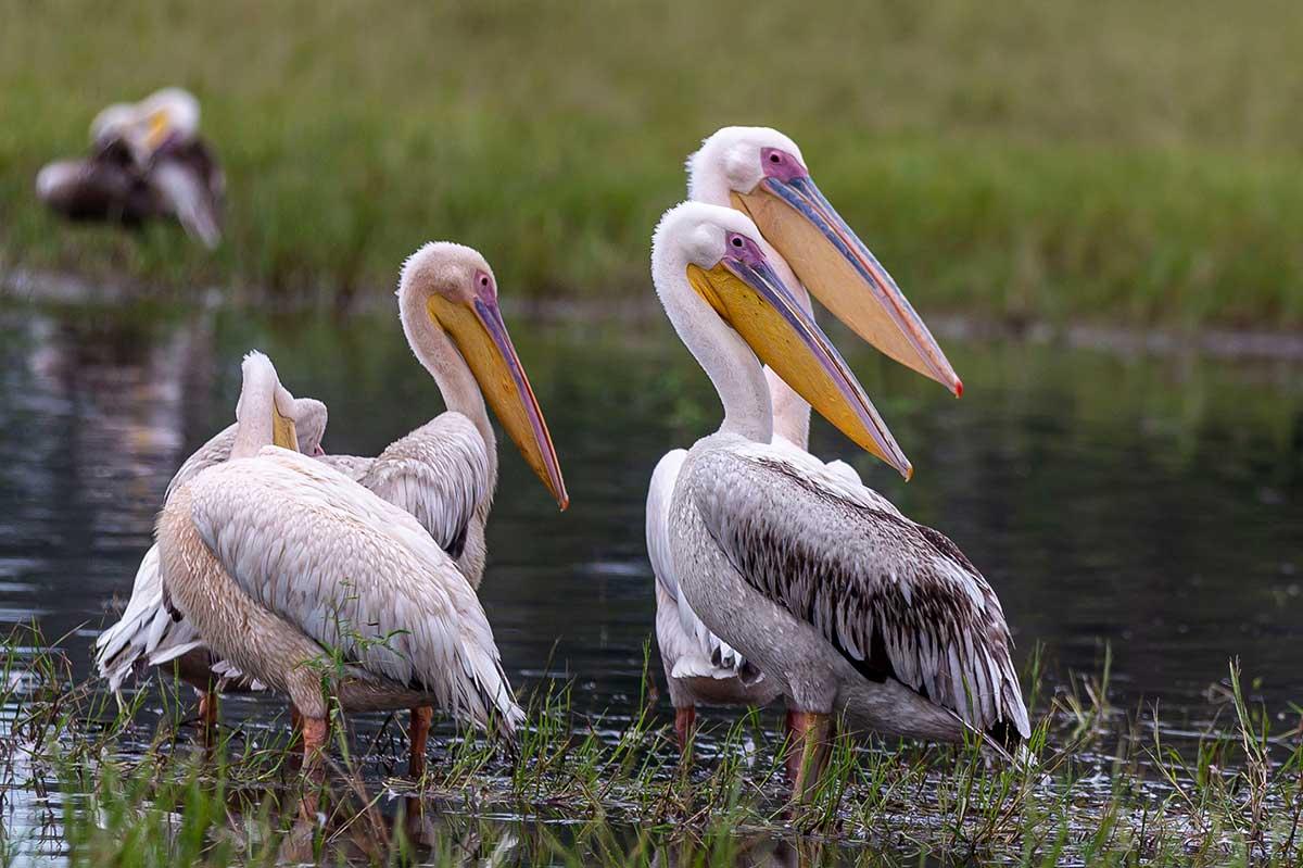 wildfocussafaris_pelicans