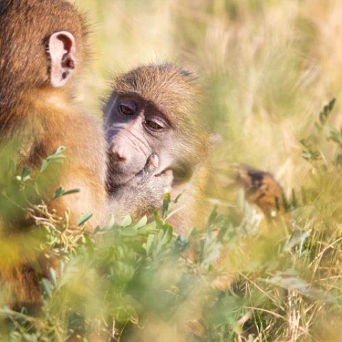 wild-focus-safaris_baboons_botswana_S