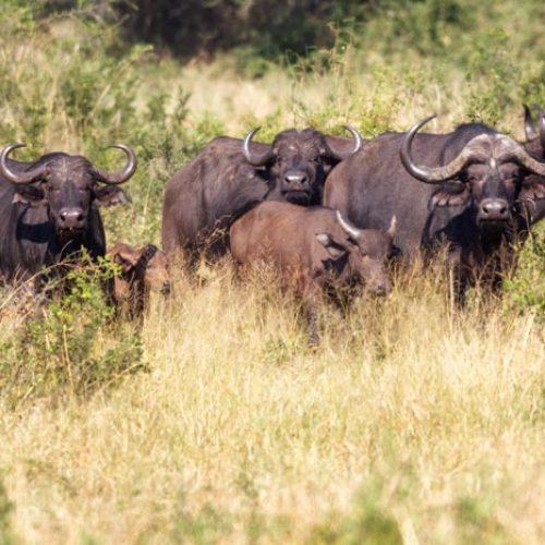 wild-focus-safaris_buffalo_botswana_S