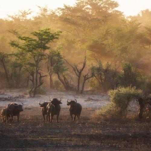 wild-focus-safaris_buffalos-dust_botswana_S