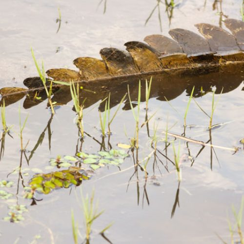 wild-focus-safaris_crocodile_botswana_S