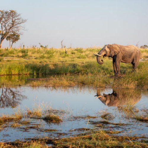 wild-focus-safaris_elephant-drinking_botswana_S2
