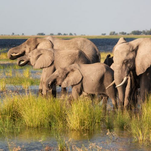 wild-focus-safaris_elephant-family-chobe_botswana_S2