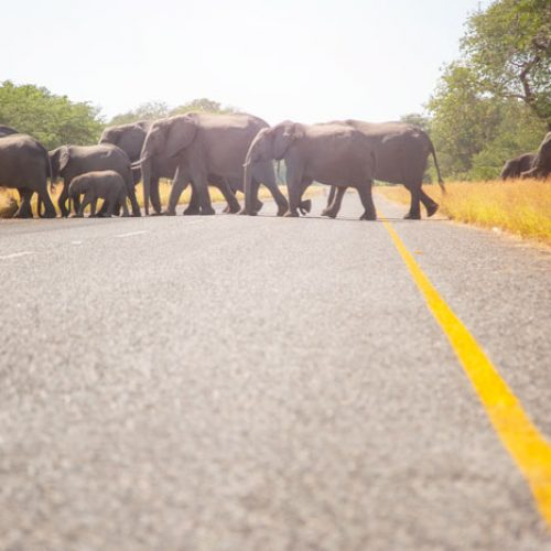 wild-focus-safaris_elephant-family-crossing_botswanaS2