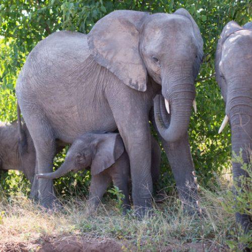 wild-focus-safaris_elephant-family01_botswana_S2