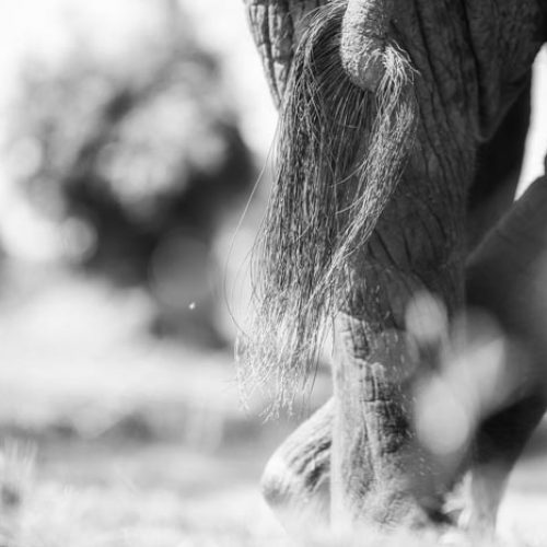 wild-focus-safaris_elephant-tail_botswana_S
