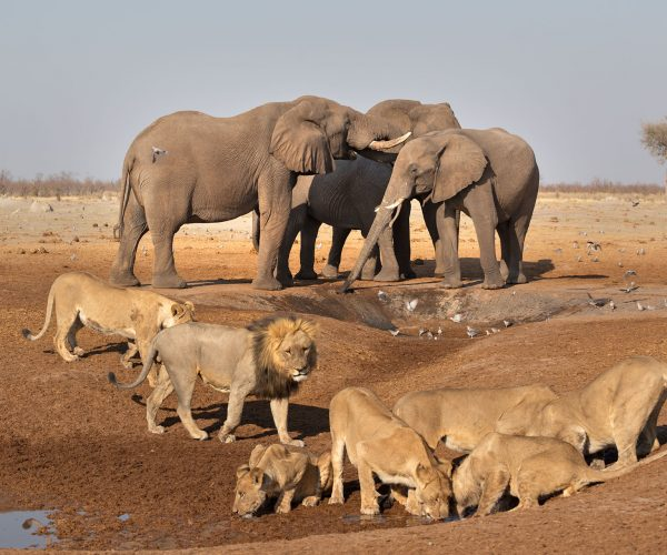 wild-focus-safaris_elephants-lions-waterhole2_botswana