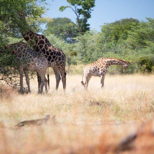 wild-focus-safaris_giraffe-family01_botswana_S2