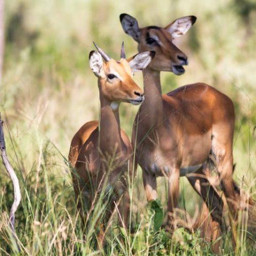 wild-focus-safaris_impala_botswana_S