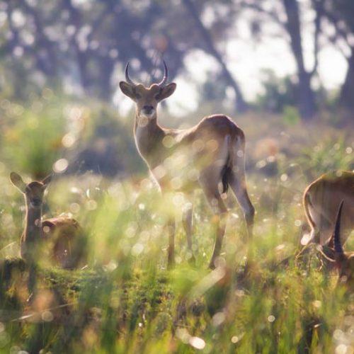 wild-focus-safaris_lechwe_botswana_S