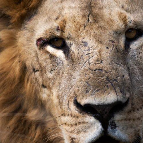 wild-focus-safaris_lion-close_botswana_S