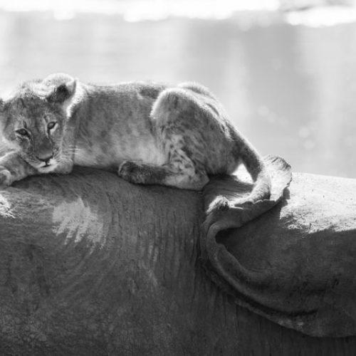 wild-focus-safaris_lion-elephant-02_botswana_S