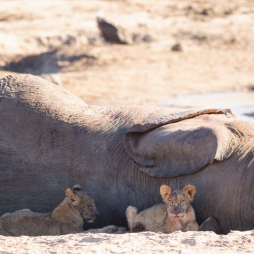 wild-focus-safaris_lion-elephant_botswana_S