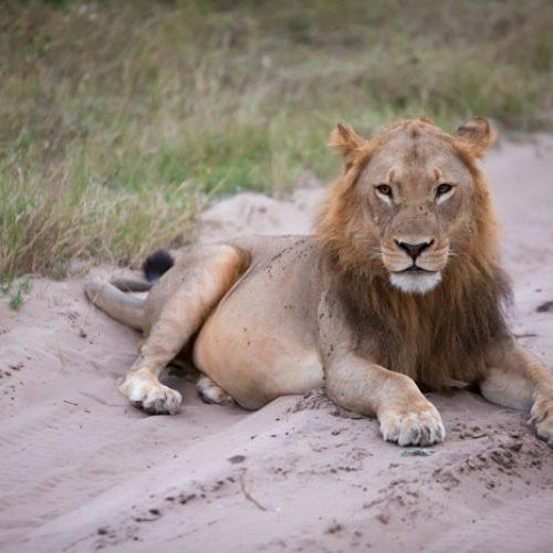wild-focus-safaris_lion-road_botswana_S