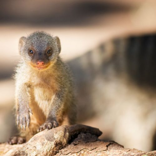 wild-focus-safaris_mongoose_botswana_S