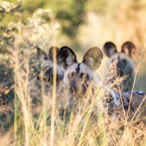 wild-focus-safaris_wilddogs_botswana_S