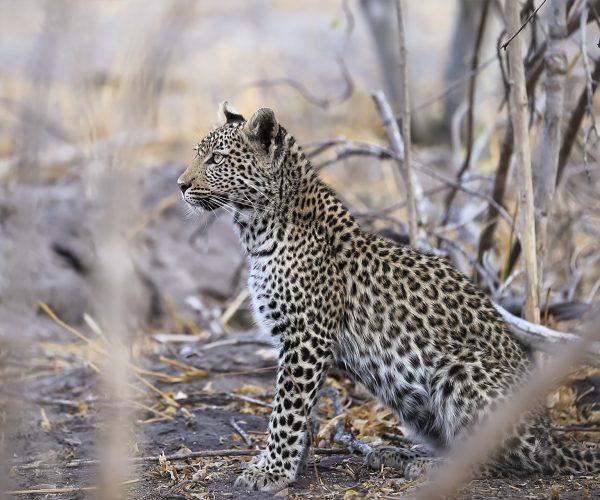 wild-focus-safaris_young-leopard_l_botswana
