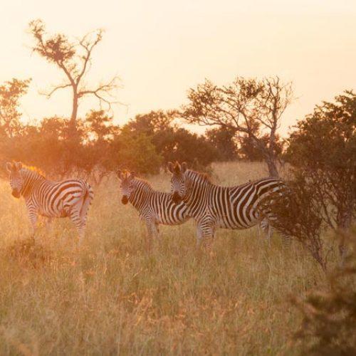 wild-focus-safaris_zebras-sunset_botswana_S2